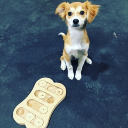 Puppy playing with a food puzzle doggy daycare at Homedog Resort located in downtown Columbus, Ohio's Brewery District