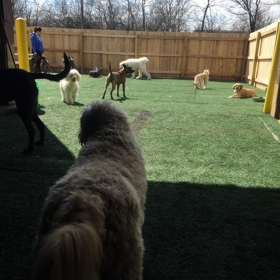 Dogs enjoying the indoor/outdoor doggy daycare play area at Homedog Resort near the German Village in Columbus, Ohio