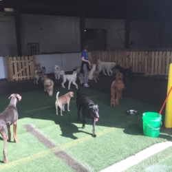 Dogs enjoying the indoor/outdoor doggy daycare play area at Homedog Resort in downtown Columbus, Ohio's Brewery District